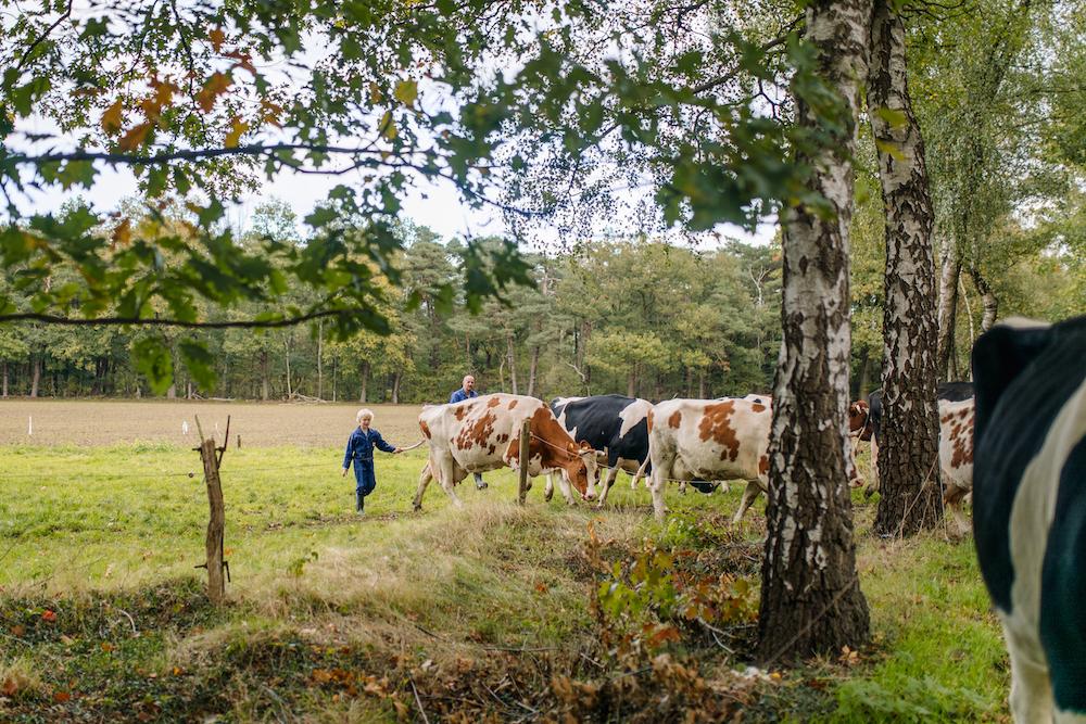 kind-drijft-koeien-in-weide-met-bomen