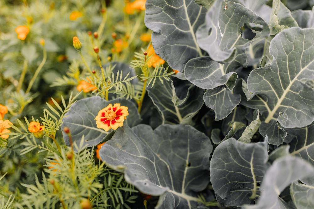 bloemkool-plant-met-bloemen